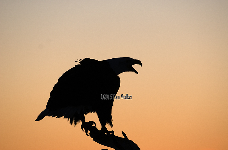Bald Eagle at Dawn, #208