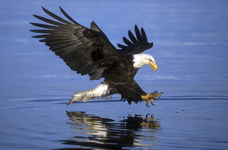 Bald Eagle Fishing, #21436