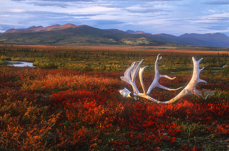 Antlers on the autumn tundra, #857.