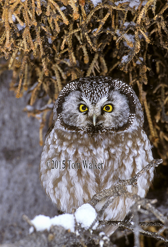 Boreal Owl, Winter, Alaska, #562
